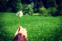 Woman holds a dandelion and blows on it. Woman hand holding a dandelion against the green meadow. Vignette, hight contrast Stock Image