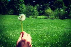 Woman holds a dandelion and blows on it. Woman hand holding a dandelion against the green meadow. Vignette, hight contrast Stock Photo