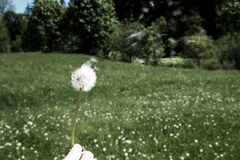 Woman holds a dandelion and blows on it. Woman hand holding a dandelion against the green meadow. Bleach photo Royalty Free Stock Image