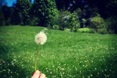 Woman holds a dandelion and blows on it. Woman hand holding a dandelion against the green meadow. Vignette, hight contrast Stock Images