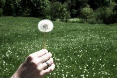 Woman holds a dandelion and blows on it. Woman hand holding a dandelion against the green meadow Royalty Free Stock Photos