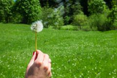 Woman holds a dandelion and blows on it. Woman hand holding a dandelion against the green meadow Stock Photography