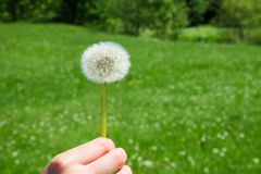 Woman holds a dandelion and blows on it. Woman hand holding a dandelion against the green meadow Stock Images