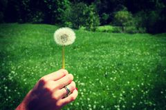 Woman holds a dandelion and blows on it. Woman hand holding a dandelion against the green meadoww. Vignette, hight contrast Royalty Free Stock Images
