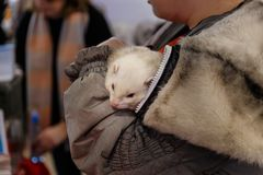 Woman holds a ferret. Woman holds a beautiful and cute ferret royalty free stock photo