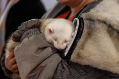 Woman holds a ferret. Woman holds a beautiful and cute ferret stock image