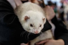 Woman holds a ferret stock image