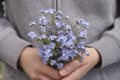 Woman holds forget me not flowers in her hands Royalty Free Stock Photos