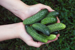 Woman holds fresh harvested cucumbers in her palms Stock Photo