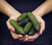 Woman holds fresh harvested cucumbers in her palms Stock Photos