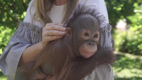 A woman holds the hands of chimps. Woman holding a small chimpanzee stock video footage