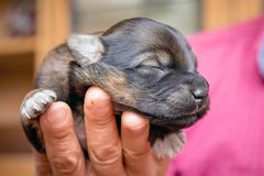 A woman holds in her hand a newborn puppy with her eyes closed _. A woman holds in her hand a newborn puppy with her eyes closed royalty free stock photo