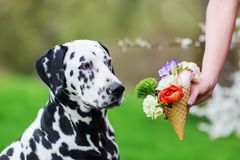 Woman holds an ice cone with flowers to a dog. Woman holds an ice cone with flowers to a Dalmatian dog Royalty Free Stock Photo