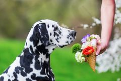 Woman holds an ice cone with flowers to a dog. Woman holds an ice cone with flowers to a Dalmatian dog Royalty Free Stock Image