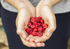 Woman holds in its hands ripe raspberries Stock Photos