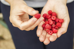 Woman holds in its hands ripe raspberries Royalty Free Stock Photo