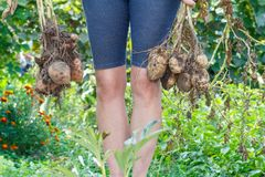 Woman holds just harvested potato plant. With russet ripe tubers on dried stem stock photography