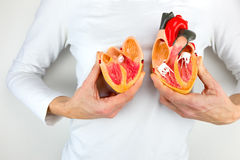 Woman holds model heart at white body stock photography