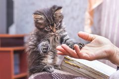 A woman holds a paw of a little kitten in her hand. The kitten p royalty free stock image