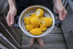 Fresh yellow sweet corn cobs. Woman holds pot full of fresh yellow sweet corn cobs on summer BBQ party. Copy space Royalty Free Stock Images