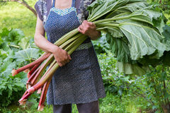 Woman holds rhubarb Stock Photo
