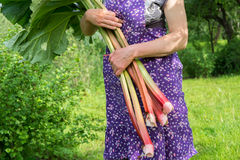 Woman holds rhubarb Stock Photos
