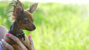 Woman holds two dogs in her hands. The toy terrier fluttering hair in the wind. They are very differently looking around stock video footage