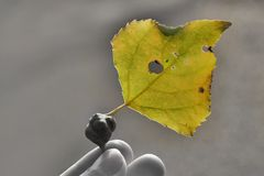 Woman holds yellow leaf of black poplar with pemphigus bursarius gall. Populus nigra. Black-and-white photo, only leaf is stock image
