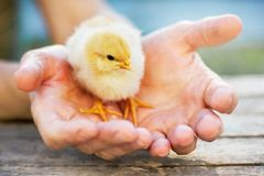 A woman holds a yellow small chick in her hands. A woman cares a royalty free stock photo