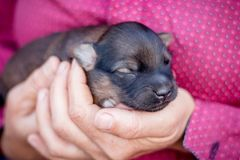 A woman holds a young newborn puppy in her hands_ stock image