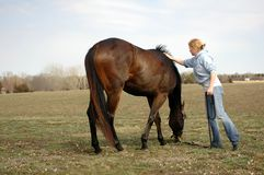 Woman with Horse. Pretty young woman holding her horse as he grazes in a field drying off after a bath Royalty Free Stock Photos