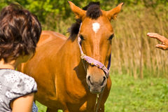 Woman and horse. Young woman and horse in the meadow, a man hand is reaching to caress the horse Royalty Free Stock Image