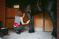 Woman horseman cleans from dirt with brush Friesian horse in stables on farm. Taking care of purebred pets stock photography