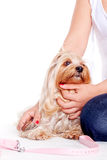 Woman hug a yorkshire terrier puppy Royalty Free Stock Photos