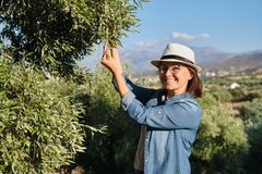 Free Woman In An Olive Grove, Unripe Olive Crop Royalty Free Stock Images - 161017379
