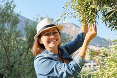 Free Woman In An Olive Grove, Unripe Olive Crop Royalty Free Stock Image - 161017426