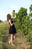 Woman inspecting grapes in a vineyard Stock Image