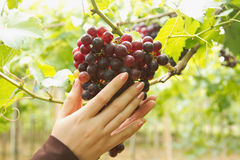 Woman Inspecting  Ripe Grapes Ready For Harvest Stock Photo