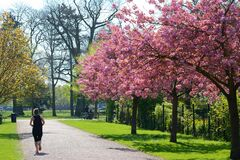 Woman jogging alone under cherry trees in blossom