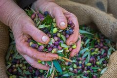 Harvested fresh olives in sacks in a field in Crete, Greece for olive oil production Royalty Free Stock Photography