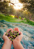 Woman keeps in her hands some of harvested fresh olives. Woman keeps in her hands some of harvested fresh olives in a field, Crete, Greece for olive oil Royalty Free Stock Photography