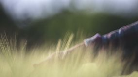 A woman leads her hand over the ears of wheat, close-up, blur. Blurred hand of a girl in the ears of wheat stock video