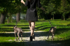 Woman legs and  two greyhounds in the park Royalty Free Stock Photography
