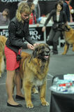 The woman with the leonberger dog in dog show exhibition Stock Photo