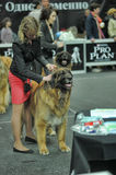 The woman with the leonberger dog in dog show exhibition Royalty Free Stock Image