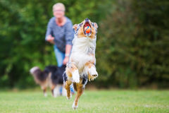 Woman lets a dog retrieve a ball. Woman lets an Australian Shepherd dog retrieve a ball Royalty Free Stock Photo