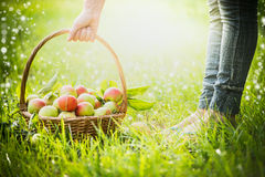 Woman lifts a basket with recently collected apples with grass, selected focus, blur, summer, spring, sun Stock Images