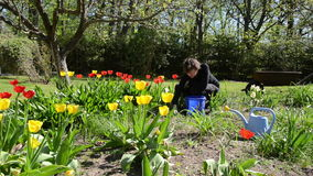 Woman look after tulip flower beds in spring garden. Woman look after tulip flower beds in colorful spring garden stock footage