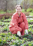 Woman loosen the strawberries in spring. Mature woman loosen the strawberries in spring garden Stock Images