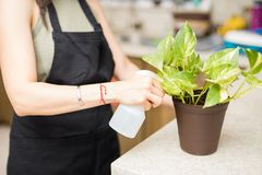 Closeup of woman hand watering plant. Woman maid hand sprinkling water in flower pot in kitchen Stock Photo